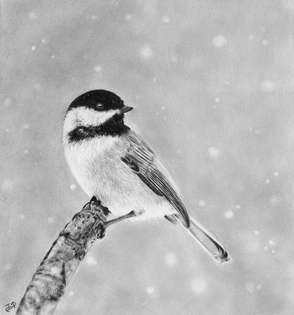 pencil-drawing-of-chickadee