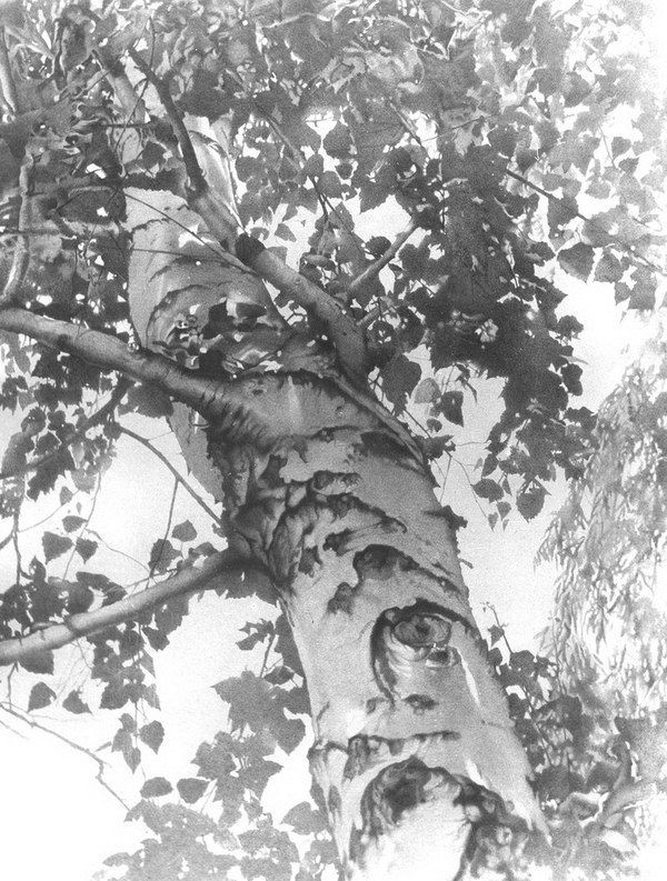 pencil drawing summer birch
