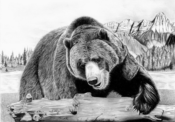 bear drawing 12