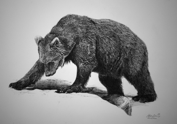 bear drawing 4