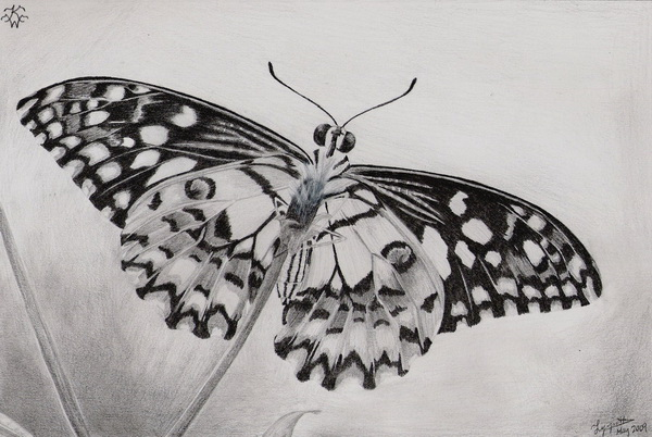 Butterfly drawing 12