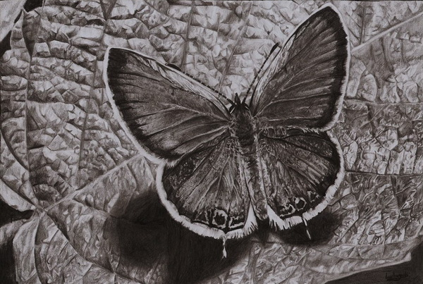 butterfly drawing 2