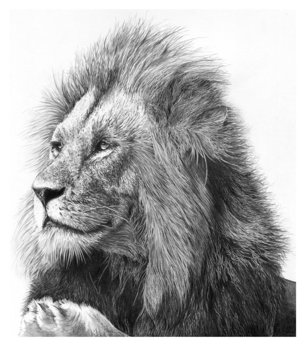 lion drawing 5
