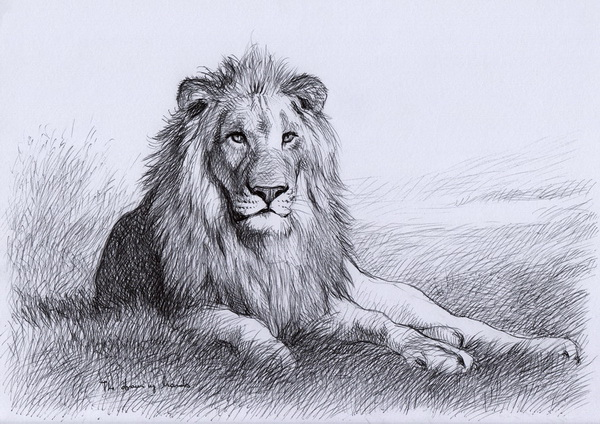 lion drawing 7