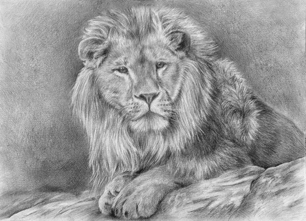 lion drawing 9