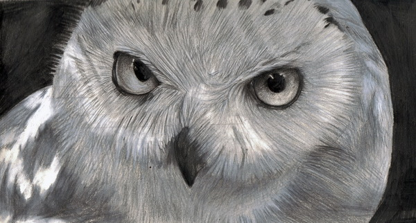 owl drawing 4