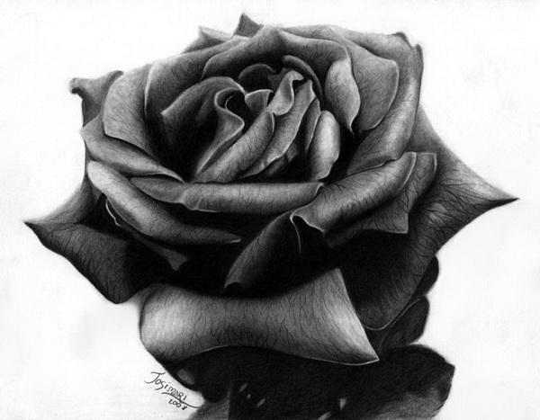 rose drawing 1