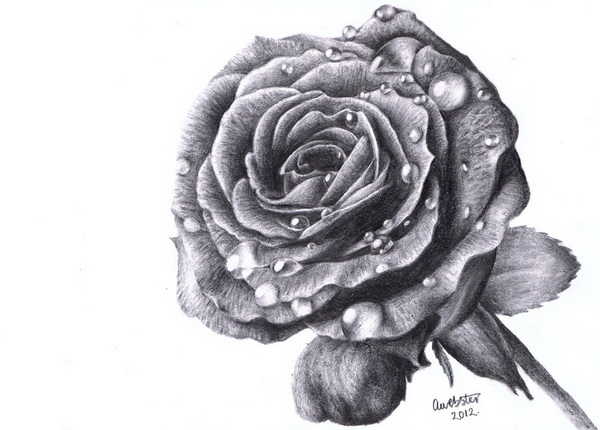rose drawing 10