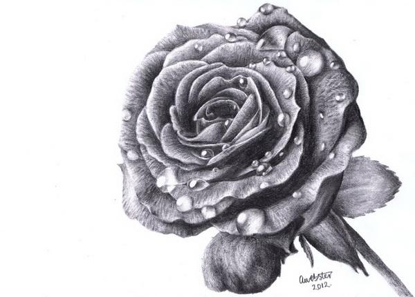 rose drawing 10