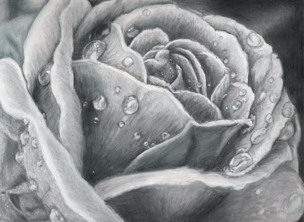rose drawing 11