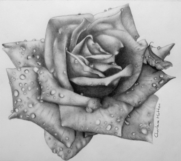 rose drawing 2