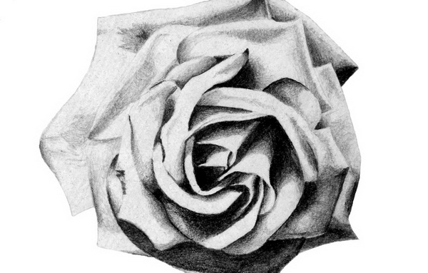 rose drawing 4