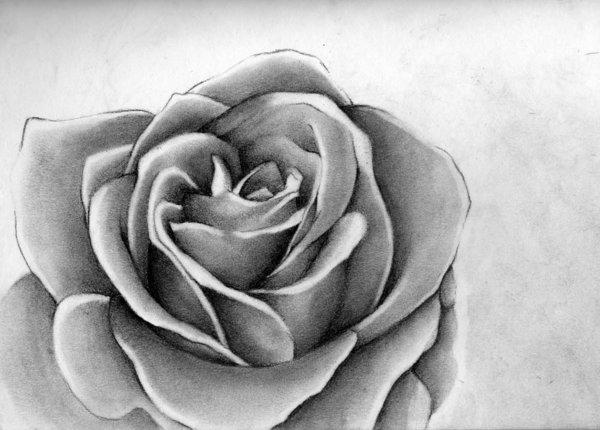 rose drawing 7