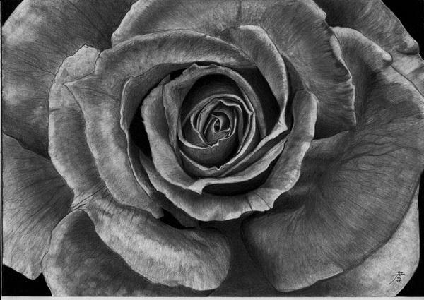rose drawing 8