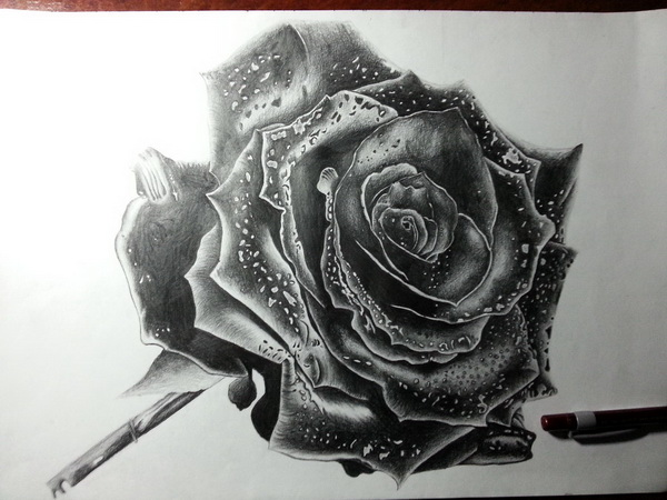 rose drawing 9