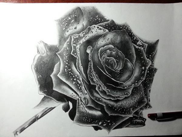 rose drawing 9