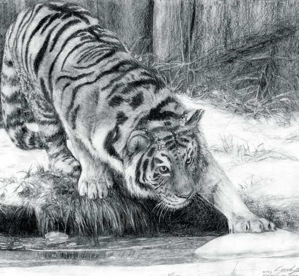 tiger drawing 11