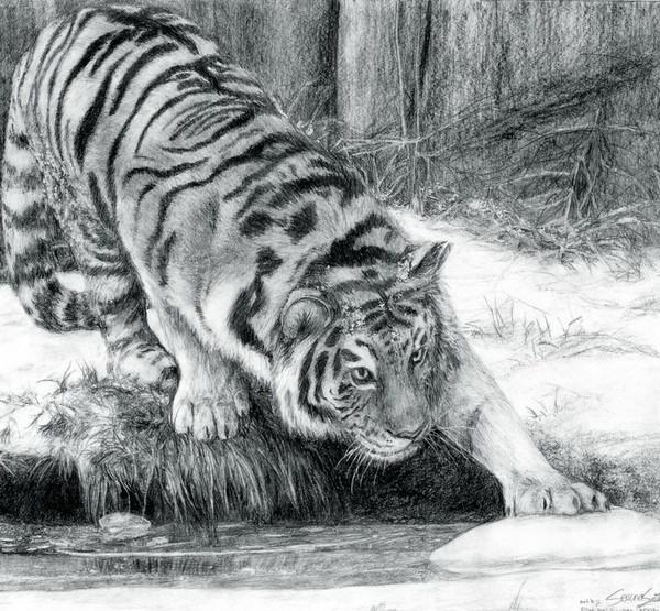 tiger drawing 11