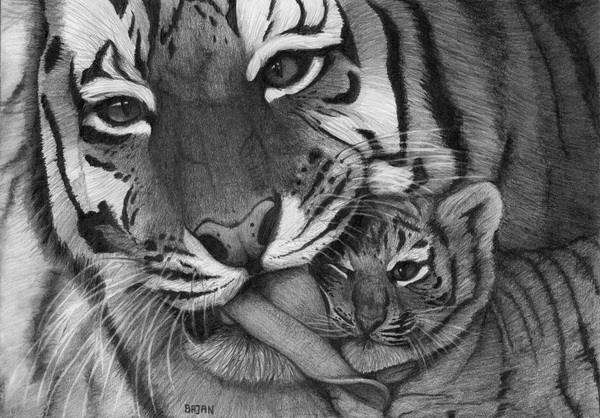tiger drawing 12