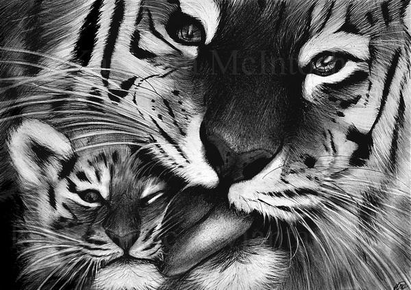 tiger drawing 2