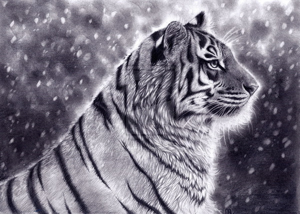 tiger drawing 6