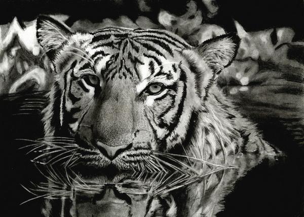 tiger drawing 7