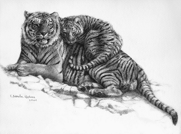 tiger drawing 9