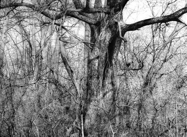 tree drawing 7