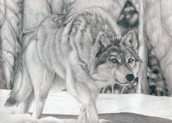 wolf drawing 10
