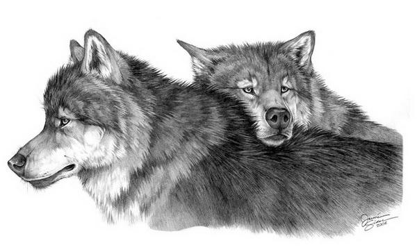 wolf drawing 11