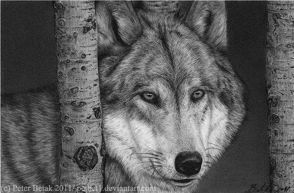 wolf drawing 5