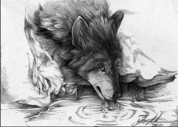 wolf drawing 7