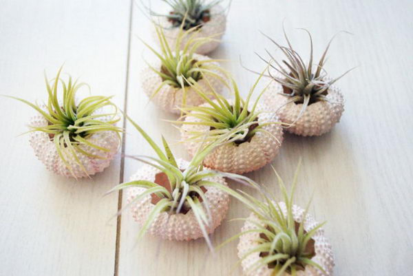 Sea Urchin Air Plants.