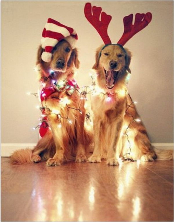 Dogs with Christmas Lights.