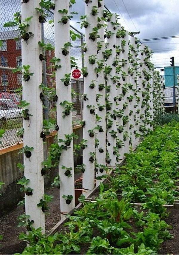 Trồng cây dâu tây thẳng đứng.  Nó cho phép thực vật mở rộng lên trên thay vì phát triển dọc theo bề mặt của khu vườn.  Không chiếm nhiều không gian và trông rất đẹp cùng một lúc.