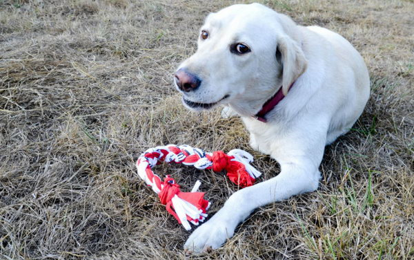 DIY T-Shirt Dog Toy. With your old T-shirt at home to make a quick and easy toy like this or a soft ball to entertain your pet. Here's the tutorial.