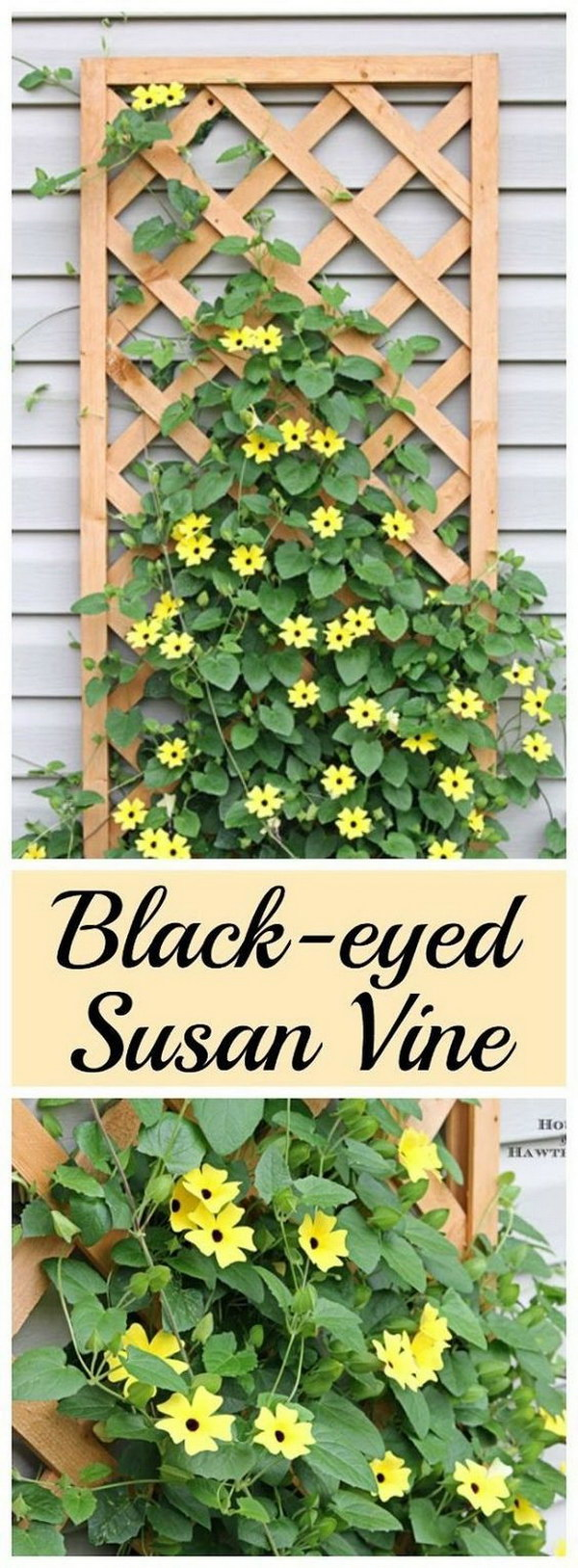 Black Eyed Susan Vines.