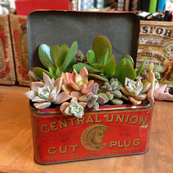 Pretty Succulents In Vintage Tin.