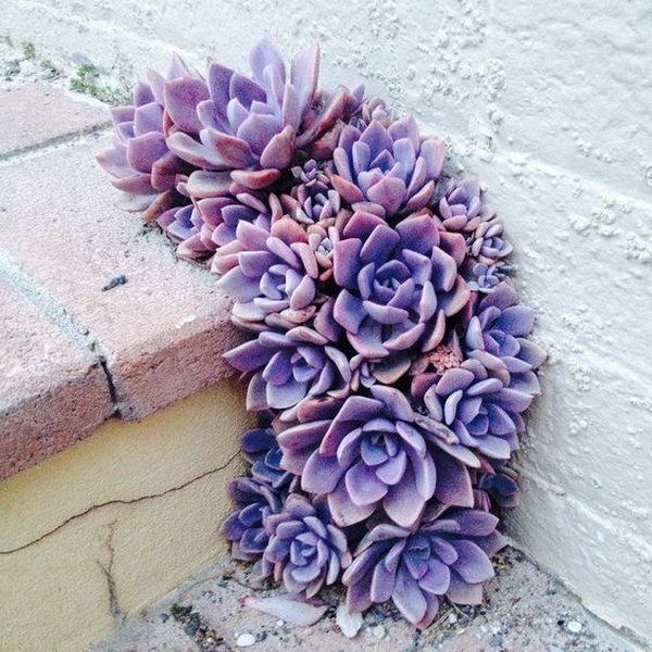 Purple Pavement Succulents.