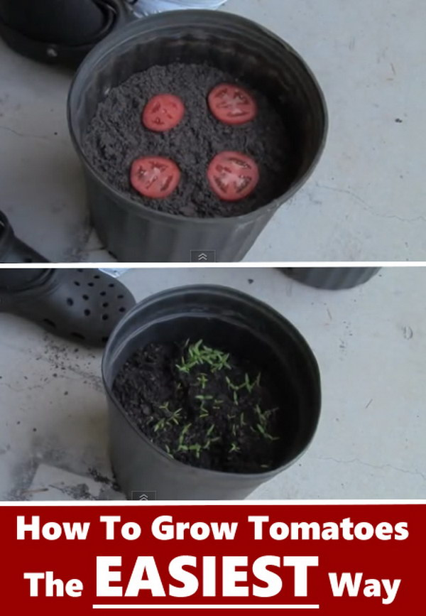 The Easiest Way to Grow Tomato Seedlings.