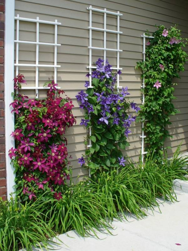 Beautify Your Outdoors with Clematis Climbing Wall.
