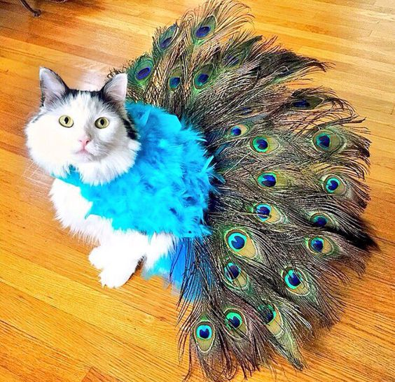 Cat in a Peacock Costume = Peacat.