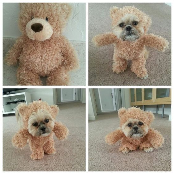 Teddy Bear Dog Costume for Halloween.